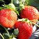 イチゴが最盛期を迎えています